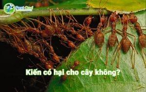 kiến có hại cây không