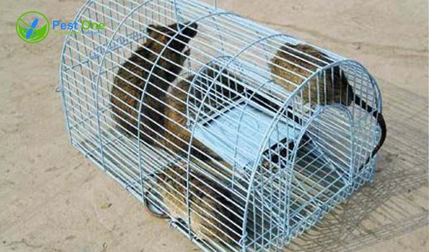 Cách bẫy chuột cống trong nhà